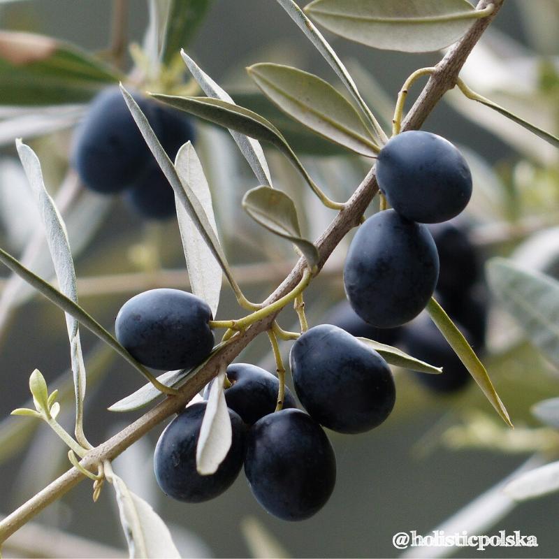 Czy liście drzewa oliwnego mogą chronić przed bakteriami?