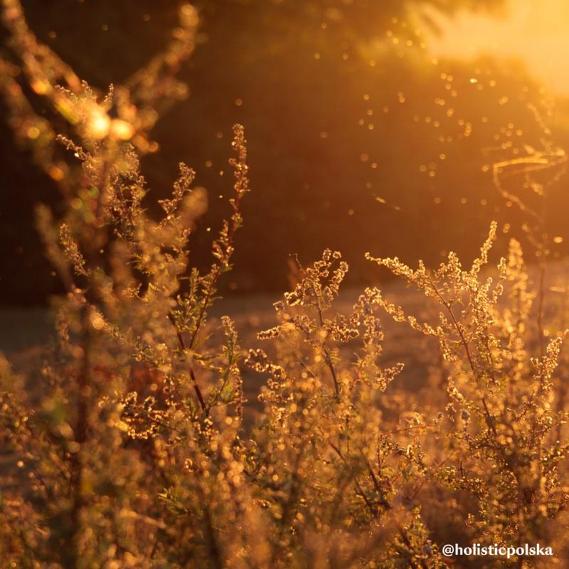 JAK PROBIOTYKI DZIAŁAJĄ NA alergię na pyłki?